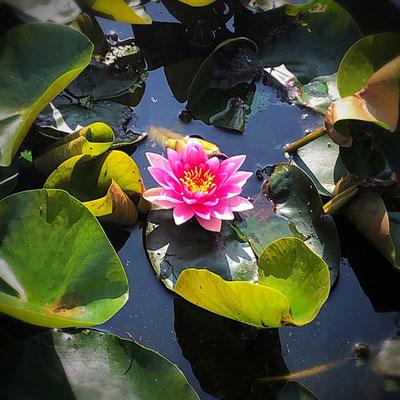 Lotus Flower @ Kasteel Groenveld (c) 2020 Azumi Uchitani