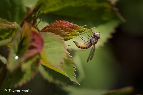 Die Schwebfliege am Rosenbusch