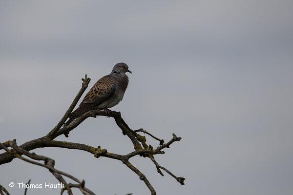 Das Gefieder dieser Taube ähnelt sehr an einen Greifvogel