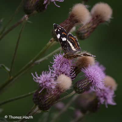 Landkärtchen der Sommergeneration (Araschnia levana f. prorsa)