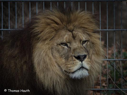 Chalid, König der Löwen