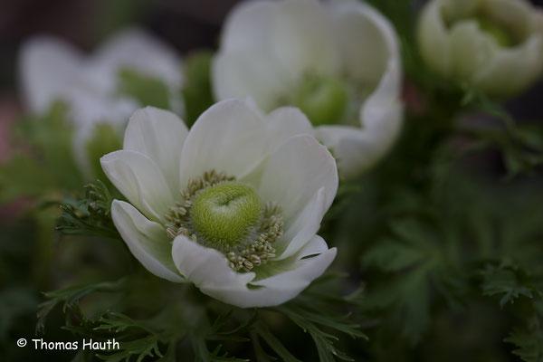 Anemonen in unserem Garten