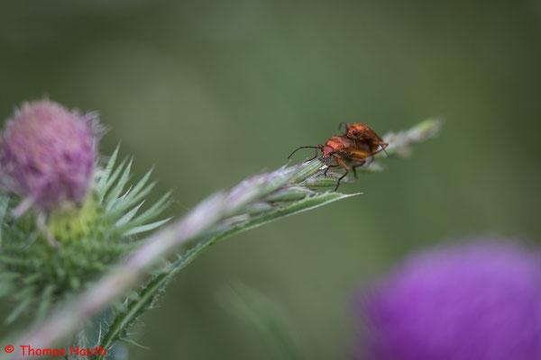 Der Rote oder Rotgelbe Weichkäfer (Rhagonycha fulva) ist ein Käfer aus der Familie der Weichkäfer (Cantharidae).