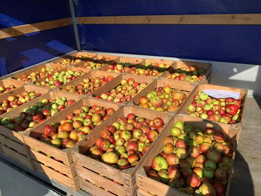 500 kg Äpfel werden zu frischgepresstem Süssmost
