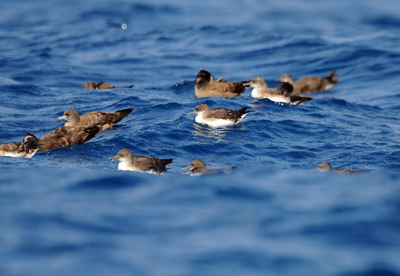 Hutton's and Wedge-tailed Shearwaters, Middle Channel