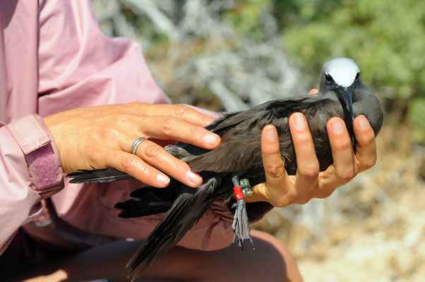 Brown Noddy ready for release, Pelsaert Is.
