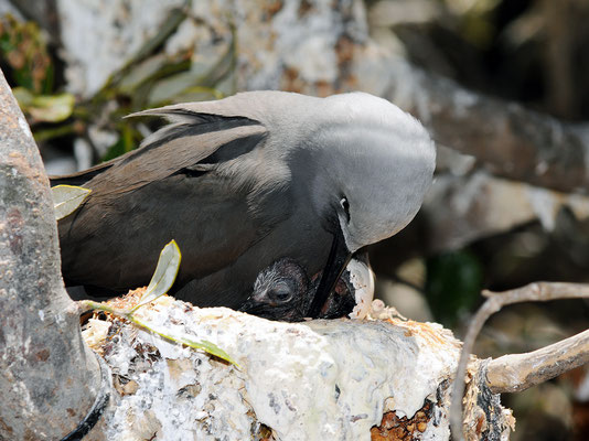 Lesser Noddy and newly hatched chick, Pelsaert Is.