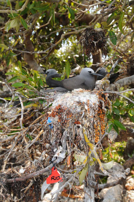 Marked Lesser Noddy nest