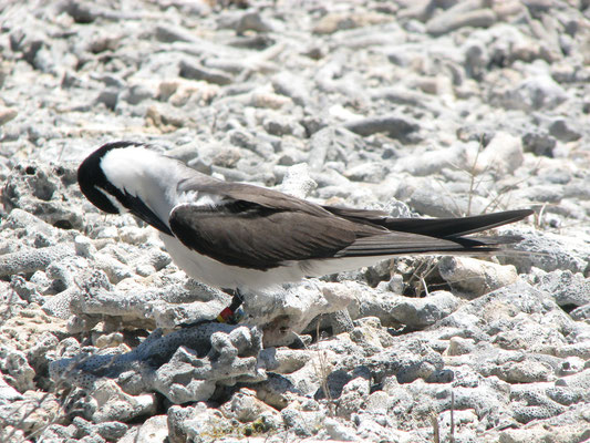 Bridled Tern with Geolocator