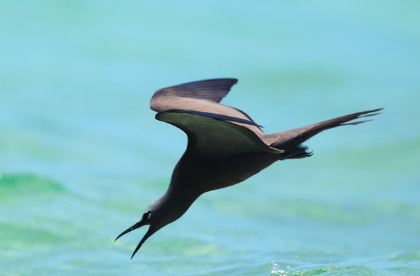 Brown Noddy drinking