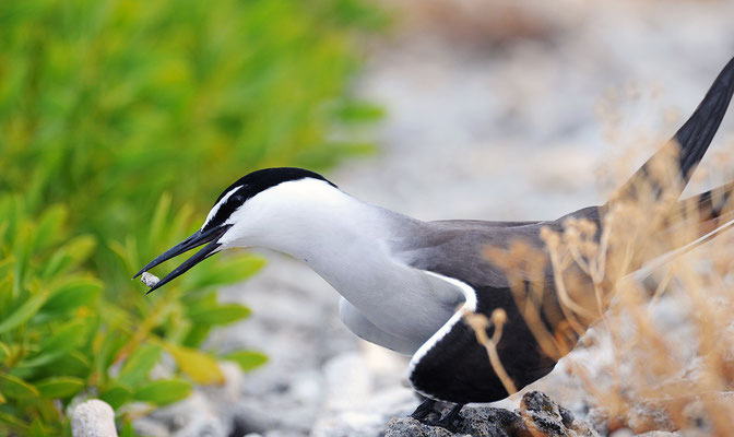 Bridled Tern in courtship mode