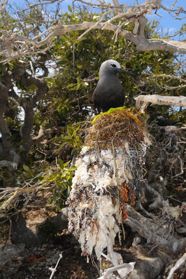 Massive Lesser Noddy nest, 2012