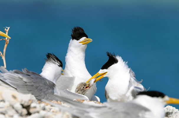 Crested Tern runner being fed