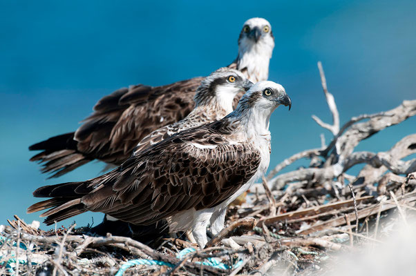 Osprey family at nest