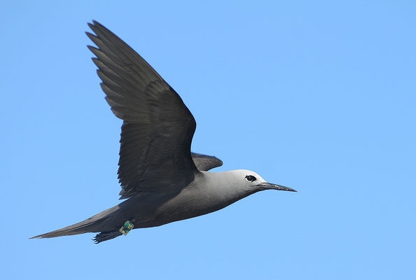 Lesser Noddy with geolocator