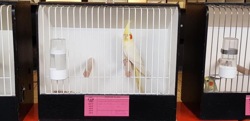 Platz 1 Lutino-Geperlt Jung & 9. Bester Jungvogel