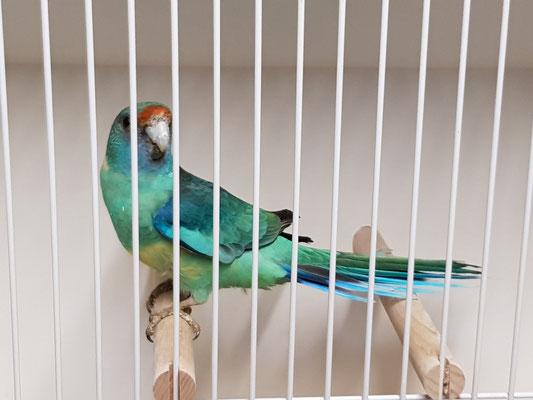 0,1 Barnardsittich wildfarben/blau
