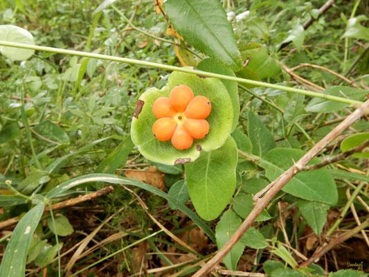 Frutti del Caprifoglio. La perfezione