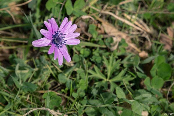 Anemone Stellata 😍 È una pianta endemica del bacino mediterraneo