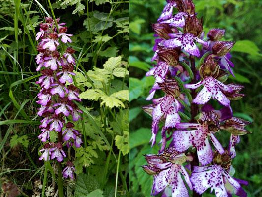 La più evidente su questi sentieri 💜 L'Orchidea Purpurea. Si può trovare nei querceti, nelle scarpate, nei prati, con terreno calcareo, alla luce piena del sole o in mezz'ombra, da 0 a 1350 m di altitudine
