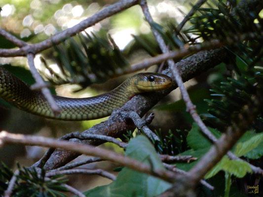 Il non velenoso saettone o colubrodiEsculapio (Zamenis longissimus). Il suo nome volgare si riferisce a Esculapio, dio greco della medicina, rappresentato con un bastone sul quale è intrecciato un serpente, simbolo della forza vitale che guarisce i mali
