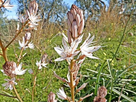 Con molto anticipo, l'Asfodelo bianco 😍 Le sue foglie vengono tuttora usate per confezionare un prodotto caseario tipico pugliese, la burrata