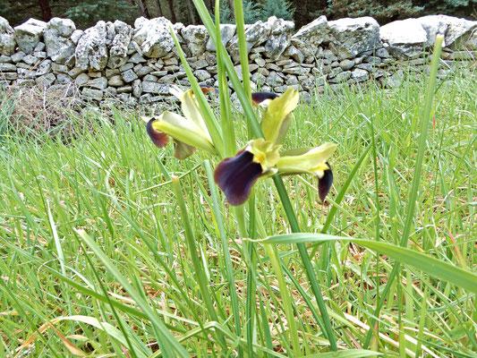 La Bellavedova. Un iris che fiorisce a febbario e marzo. I suoi rizomi sono altamente ricchi di sostanze nutritive, sono uno degli alimenti preferiti dall'Istrice (Histrix cristata L.) che li dissotterra scavando con le sue robuste unghie