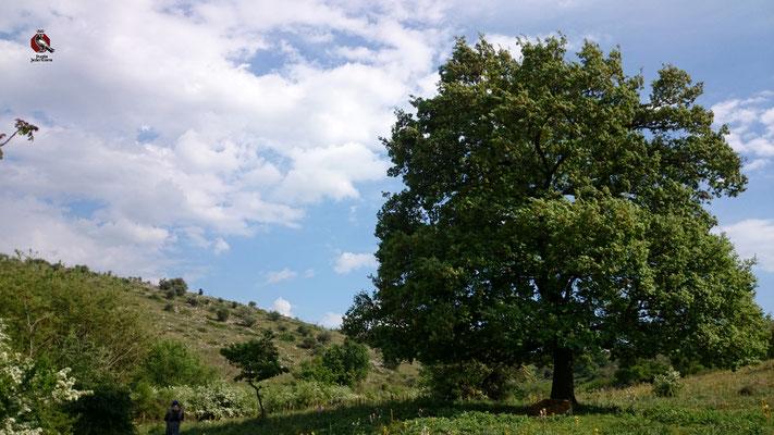 La Roverella occupa la fascia di transizione tra i boschi sempreverdi e mediterranei e quelli di latifoglie. Sono tipiche dei boschi dell'Alta Murgia. Nei periodi di carestia le sue ghiande venivano usate per fare una specie di pane o piadina di ghianda