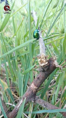 La Cetonia Dorata è uno scarabeo abbastanza comune in Europa and America della sottofamiglia delle cetoniinae