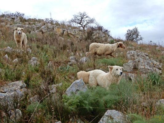 Circondati dai cani pastore e le greggi di pecore che pascolano sulle distese verdi dell'Alta Murgia 💚