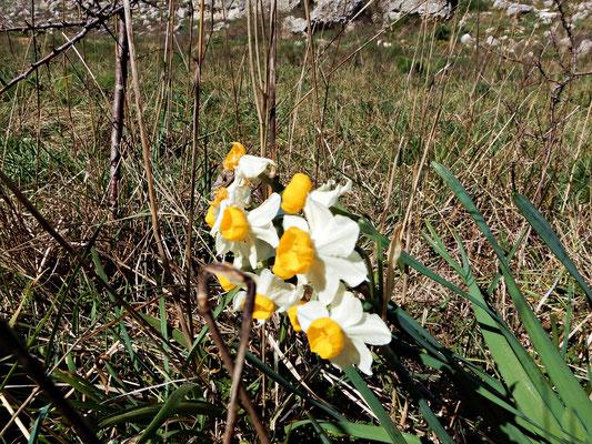 Tappeti di #narciso (Narcissus tazetta) lungo il cammino. il suo nome può essere riferito alla sua intensa profumazione (narcotico); legato il mito di Narciso