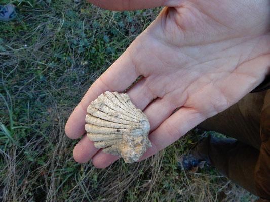 Fossili marini presenti nella calcarenite, una roccia sedimentaria clastica leggera, porosa e facilmente lavorabile