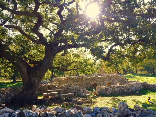 Questa quercia secolare vive in questo antico mungituro dello Jazzo del Demonio. Le pecore venivano passate dal recinto di pietre all'altro attraverso la struttura centrale rettangolare in cui poche alla volta venivano appunto munte :)