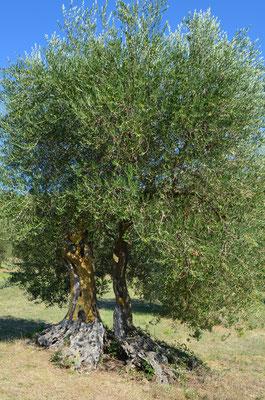 Dani Karavan - Adam und Eva; Olivenbaum blattvergoldet / 2002