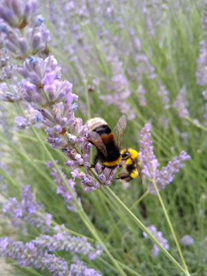 Hummeln im Lavendel
