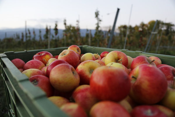 Erntefrische Äpfel