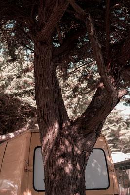 Campingplatz auf der Il de Re  - ein altes Postauto unter Pinienbäumen.