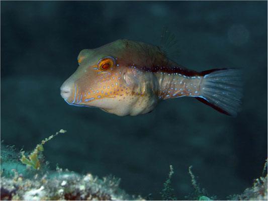 Makaronesen Krugfisch (Canthigaster capistrata), Teneriffa
