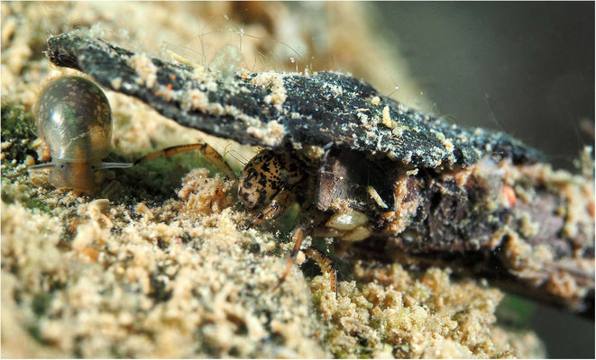 Köcherfliegenlarve mit Schnecke