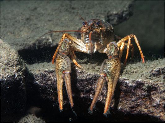 Galizischer Sumpfkrebs (Astacus leptodactylus), Steinbruch Löbejün