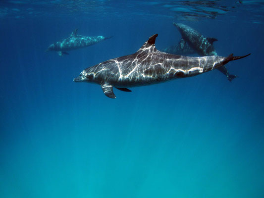 Delfine vor Hurghada, Rotes Meer