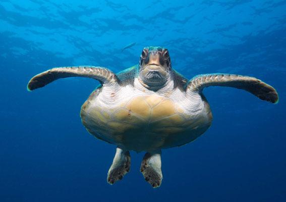 Grüne Meeresschildkröte = Suppenschildkröte (Chelonia mydas), Teneriffa