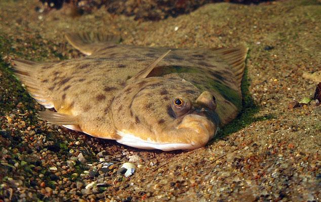 Plattfisch in der Ostsee, Rerik, Mecklenburg-Vorpommern