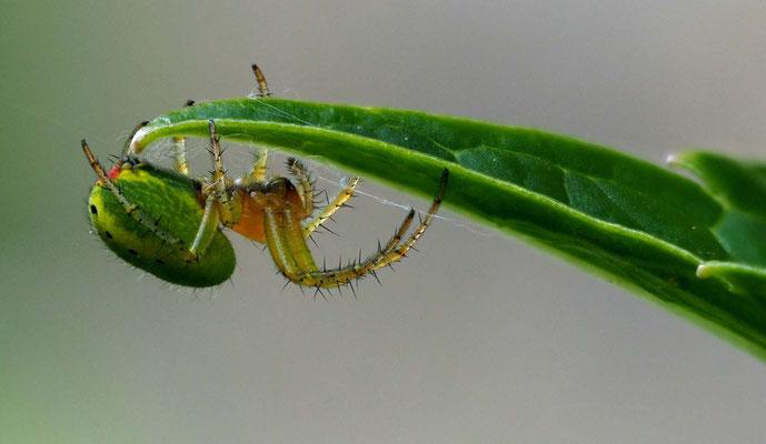 Gartenkreuzspinne (Araneus diadematus), Toskana