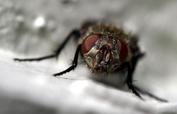 Fliege in Lavensby, Insel Als, Dänemark