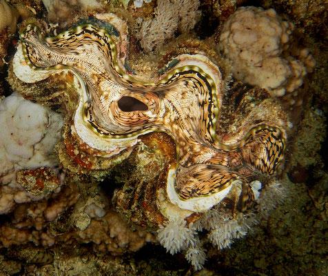 Riesenmuschel, Rotes Meer
