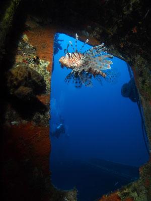 Feuerfisch in der Kapitänskajüte eines Wracks vor Hurghada, Rotes Meer