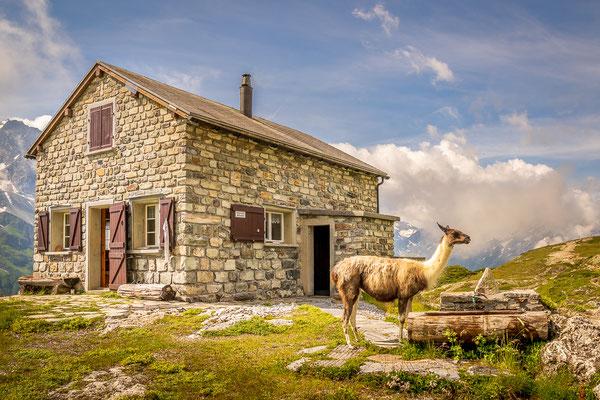 Lama, Windgällenhütte, Maderanertal