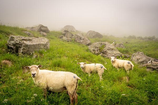 Schafe, Brunnital, Maderanertal