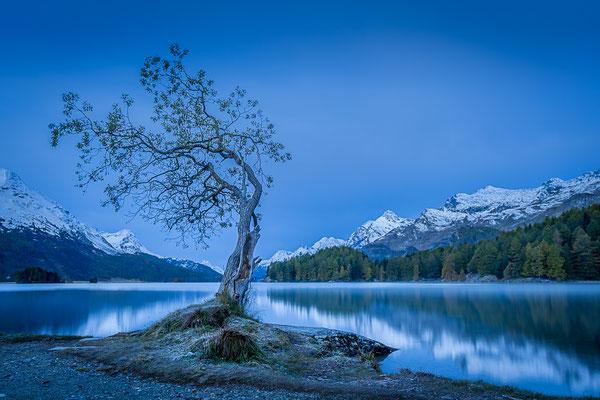 Bild Nr. 2020_8584: Einsamer Baum am Silsersee